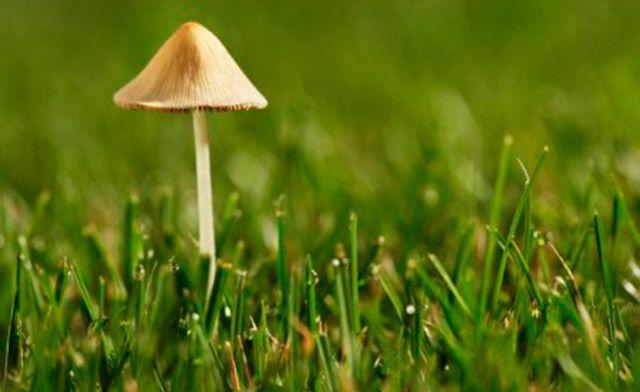C mo eliminar y prevenir los hongos en el c sped for Hongos en el cesped jardin